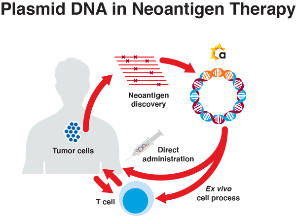 Plasmid DNA in Neoantigen Therapy-2