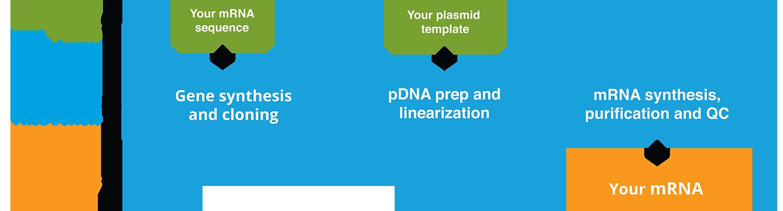 mRNA-process-1117.png
